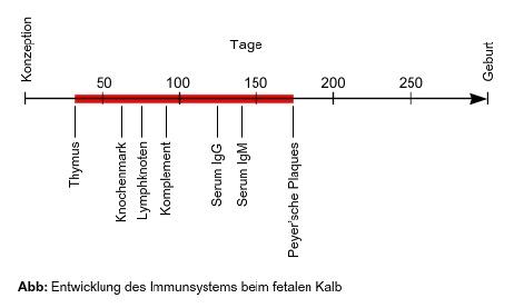 Entwicklung des Immunsystems beim fetalen Kalb