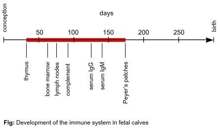 Development of the immune system in fetal calves